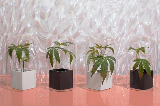 выращивание маленького каннабиса